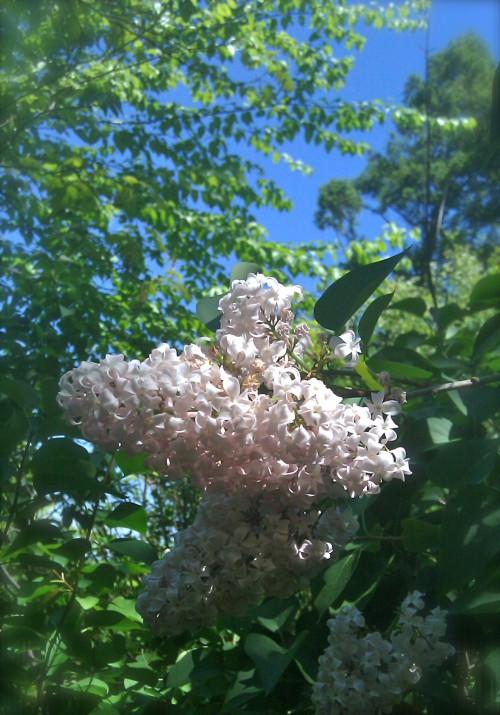 lilacs in the woods
