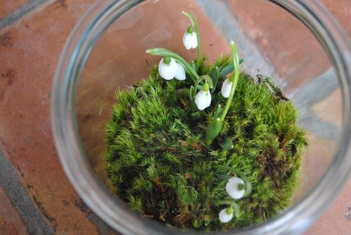 snowdrop terrarium galanthus