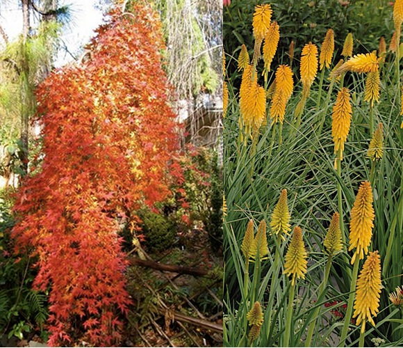 weeping maple and kniphofia