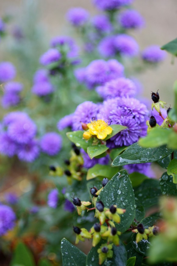 Fall planting ideas from www.pithandvigor.com Fall planting ideas from www.pithandvigor.com st johns wort and purple asters