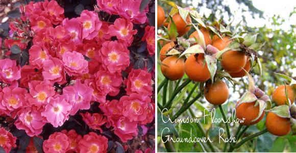 crimson floorshow rose groundcover rose with hips via www.pithandvigor.com