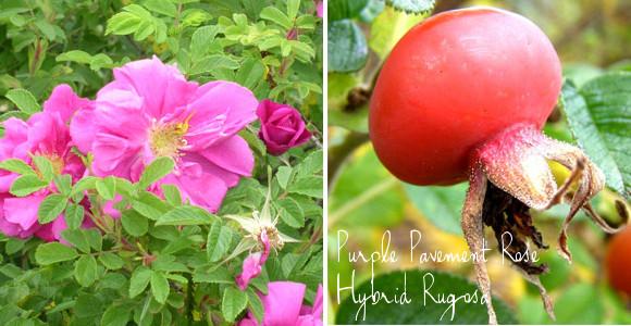Purple Pavement hybrid rugosa rose with hips via www.pithandvigor.com