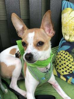 Artistic All Hail Just I Am Still More Rough Shape At Pixie Project What Makes Pixie Project Non All Terrier Rescue News All Terrier Rescue Hunters Crossing In I Am Only About Months I Came
