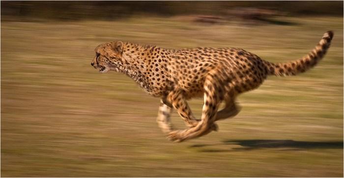 Cheetah_chase