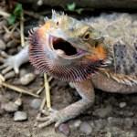 dreaming lizards1