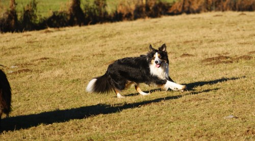 Medium Of Border Collie Shedding