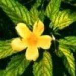 Damiana: planta afrodis?aca