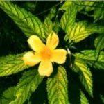 Propiedades Farmacológicas de tres especies utilizadas en Fitoterapia China