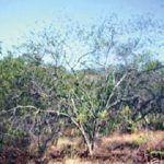 Propiedades, Aplicaciones y Maravillas del Tepezcohuite