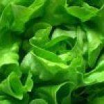 Lechuga: Verdura saludable, Accesible y Beneficiosa