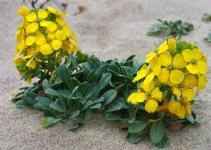 Alhelí amarillo (Cheiranthu cheiris) 5