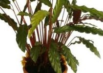 """Calatea (""""Calathea crocata"""") 1"""