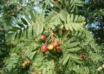 "Serbal común (""Sorbus domestica"") 1"