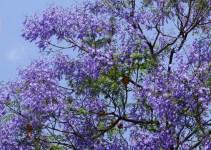 Jacaranda, el árbol violeta 1