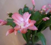 cactus-de-navidad3-426x320