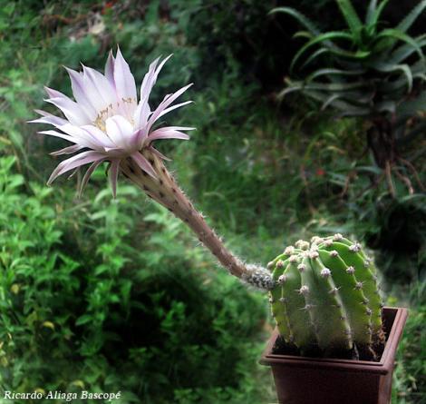 Los cactus dan flores for Cactus cuidados exterior