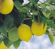 limonero3