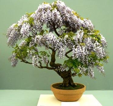 trasplantar los bonsáis