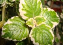 Plectranthus coleoides: Planta del Incienso 1