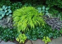 Hakonechloa macra o hierba de Japón. 3