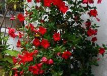 La Mandevilla, una trepadora que llenará de color tu jardín 1