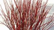 Cornus Sericea Flaviramea: Cornejo decorativo