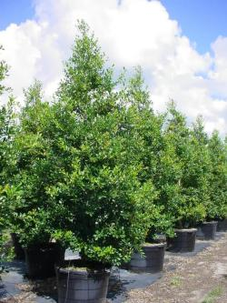 Gracious Ilex X Attenuata East Palatka Holly An Buying Guide To Plants Native East Palatka Holly Losing Leaves East Palatka Holly Poisonous