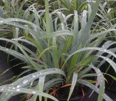 Carex laxiculmis 'Hobb' Bunny Blue