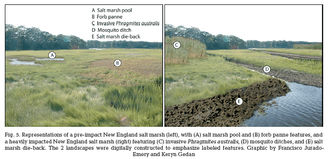 Centuries of Human-Driven Change in Salt Marsh Ecosystems