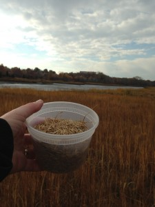 Seeds of Spartina Alterniflora gathered on a Sunday morning in Salem.  Seeds still there as of mid-November!