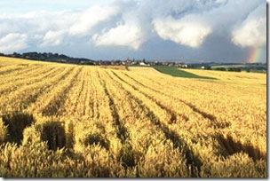 Wheat Fields Of Gold