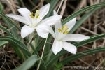 sand-lily