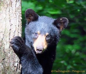 bear-nh