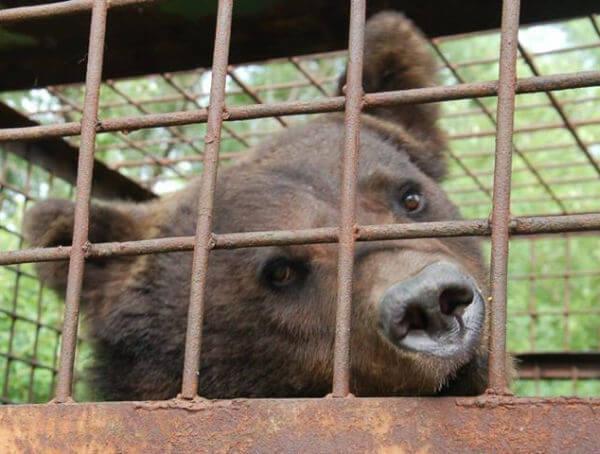 caged bear ukraine