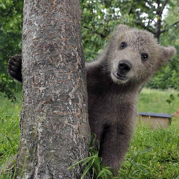 baby bear saying hello