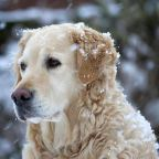 beautiful dog in snowfall
