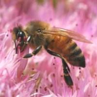 Ужилване от оси и пчели - съвети