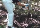 Localizan 12 osamentas en fosas clandestinas en Caleras, Tecomán