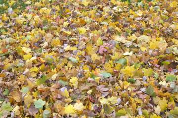 fallen-maple-leaves