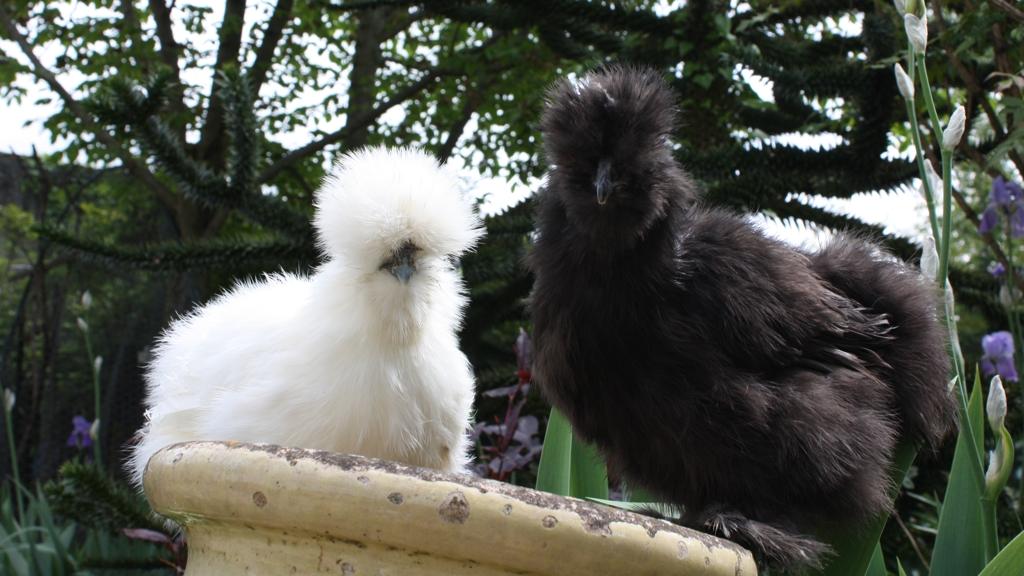 poules de soie