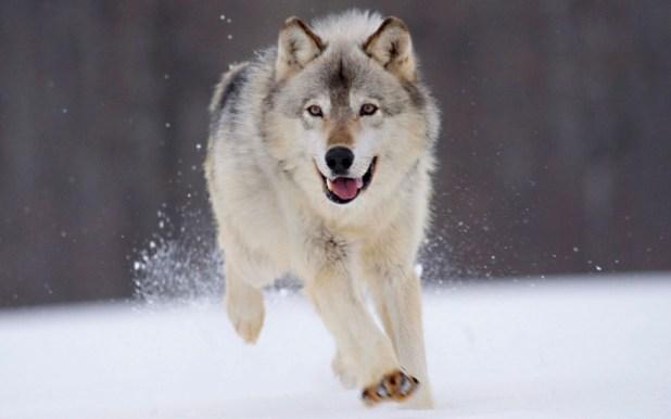 gray_wolf_minnesota-1680x1050 Gray Wolf Is A Keystone Predator Of The Ecosystem