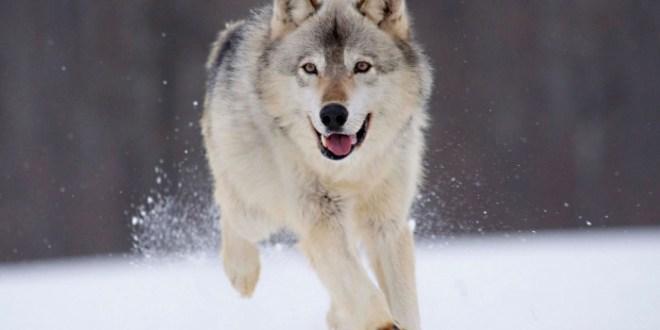 gray_wolf_minnesota-1680x1050
