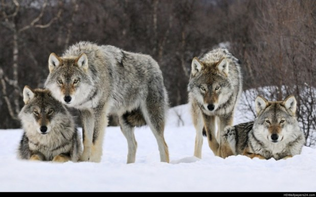 in Gray Wolf Is A Keystone Predator Of The Ecosystem