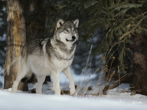 jim-and-jamie-dutcher-portrait-of-an-alpha-male-gray-wolf-canis-lupus-at-forest-s-edge Gray Wolf Is A Keystone Predator Of The Ecosystem