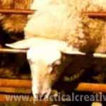 sheep stuck in gate