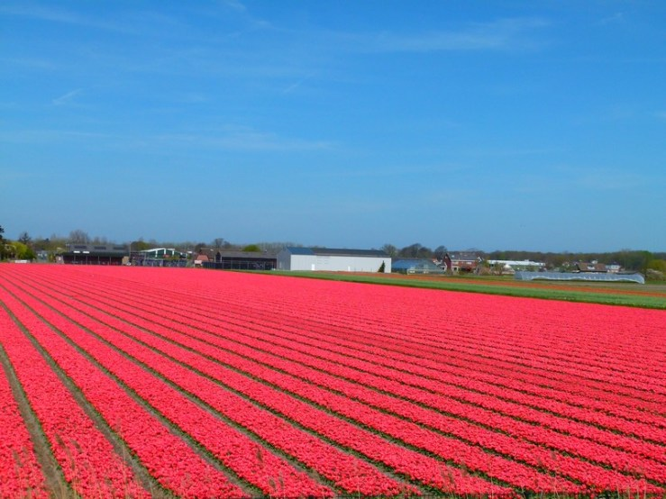 tulipas holanda - preciso viajar
