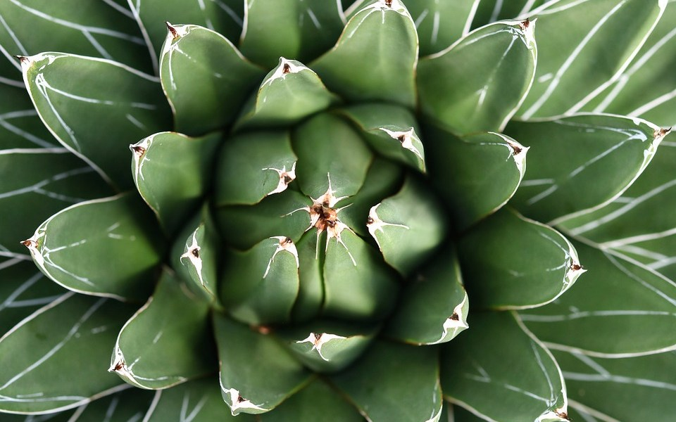 agave uses