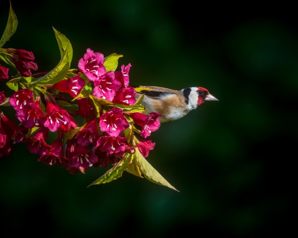 """Goldfinch"" by Andrew Morffrew. CC BY-ND"