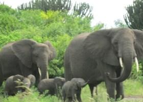 Elephant family Uganda ,Queen Elizabeth National Park