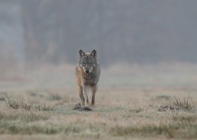 Wölfe in Deutschland - Sehr geehrter Herr Minister Backhaus